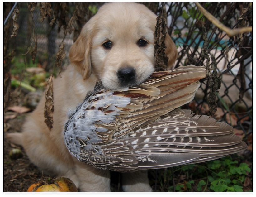 Pheasant Golden Retriever